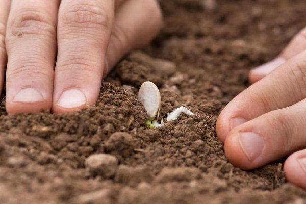 Посев семян тыквы