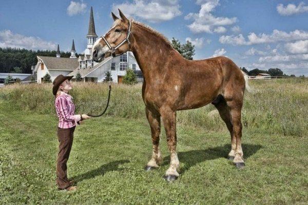 Конь Биг Джейк (Horse Big Jake)