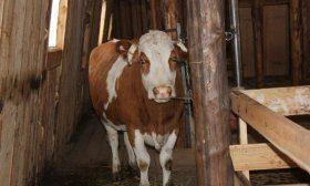 Корова в стойле