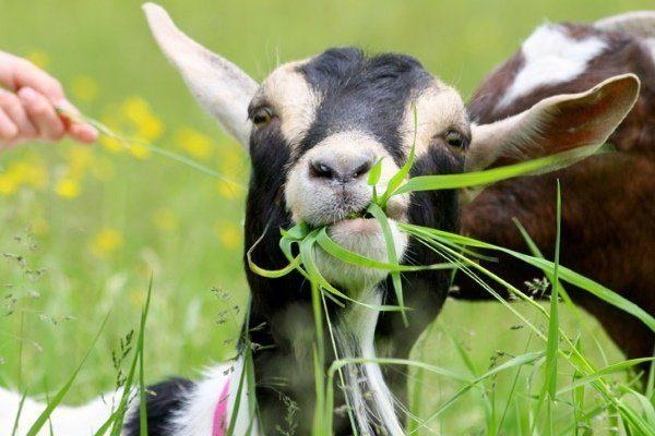 Чем кормить козу? Чем кормить козу, чтобы было больше молока?