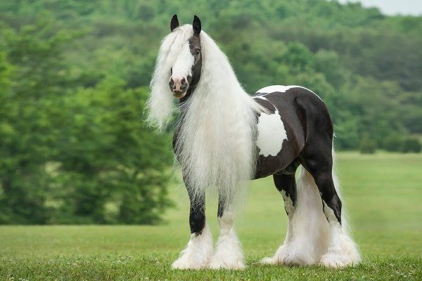 Цыганская упряжная лошадь (Тинкер)