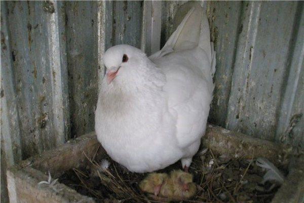 Самка и птенцы