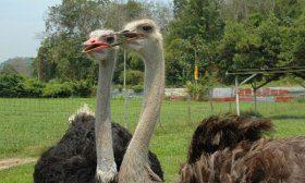 Разведение страусов