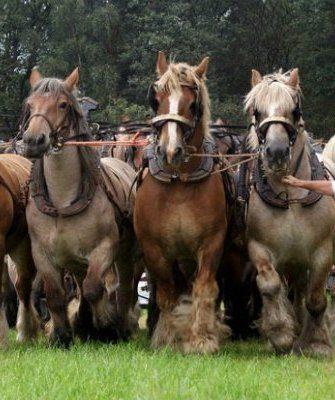 Породы лошадей-тяжеловозов