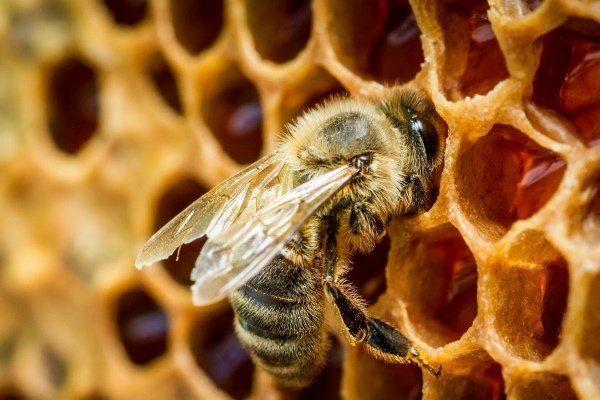 Пчела и сота