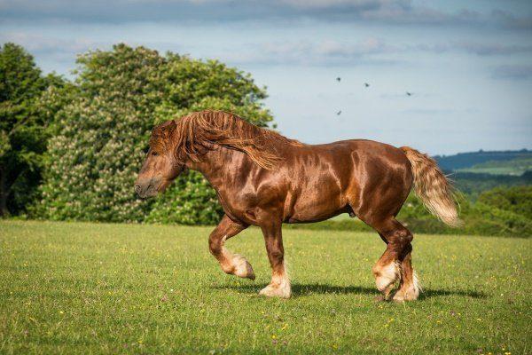 Суффольская порода тяжеловозных лошадей