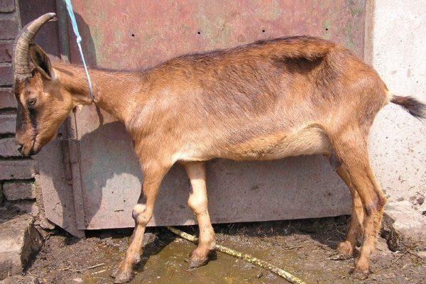 Ревматизм у коз