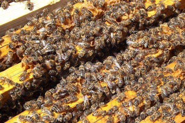 Пчелиная семья