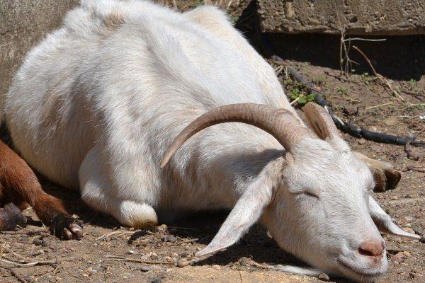 Вялость у козы