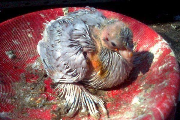 Оспа у птенца