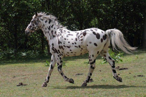 Лошади Аппалуза