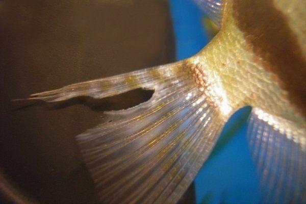 Плавниковая гниль у рыбы