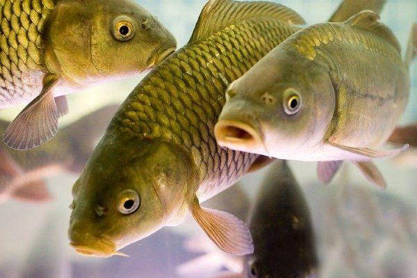 Лечение Пучеглазия У Аквариумных Рыб - Болезни рыб