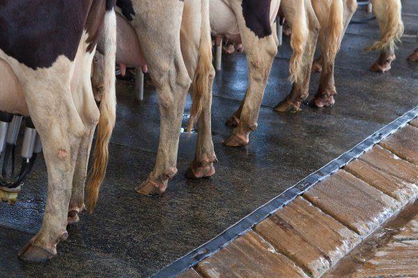 Копыта коров