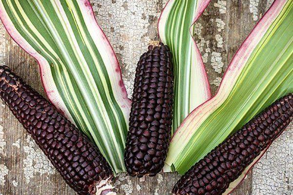 Японская (декоративная) кукуруза