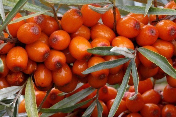 Сорт Ботаническая ароматная