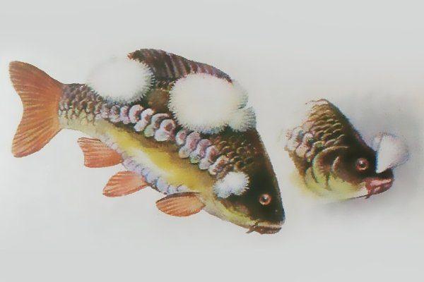 Сапролегниоз рыб