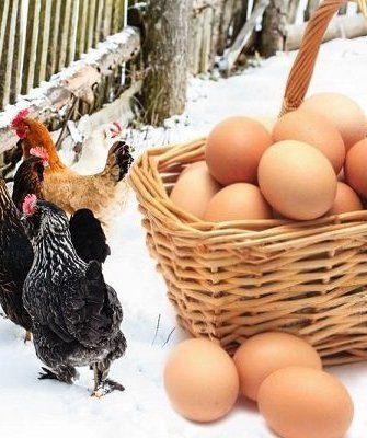 Курица снесли яйца зимой