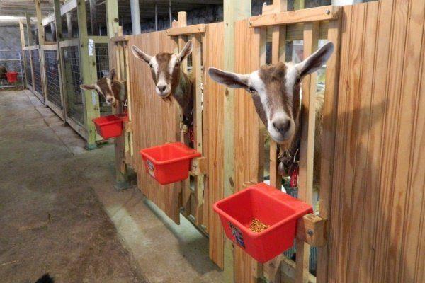 Содержание коз в домашних условиях полная информация