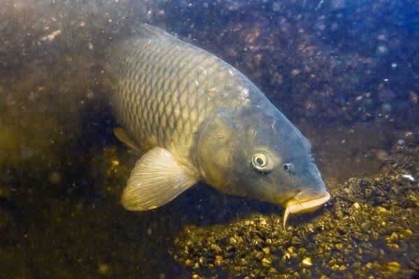 Рыба ест на дне