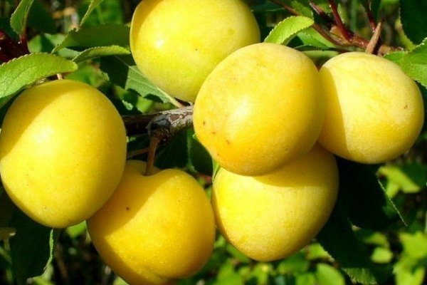 Очаковская желтая или белая