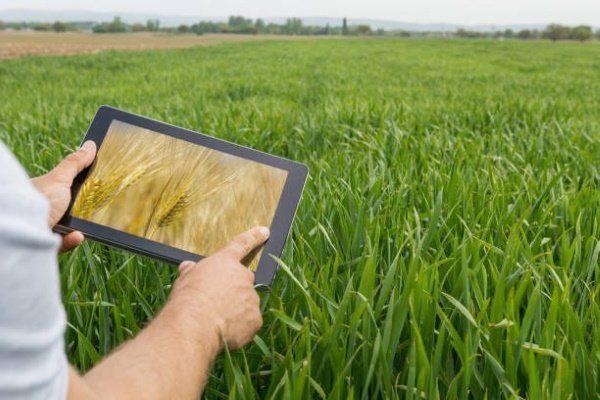 Распространенные сорта пшеницы по видам