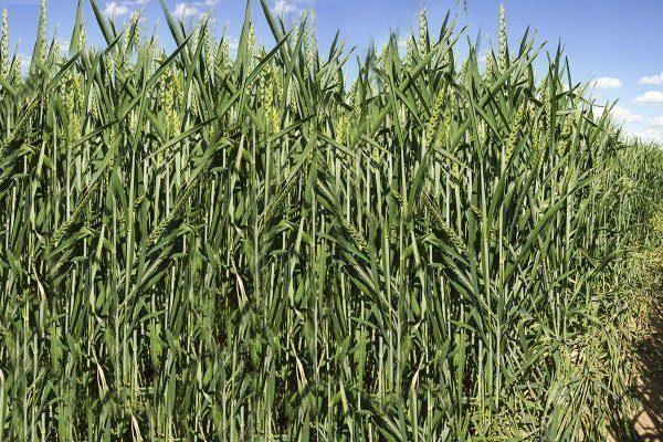 Маркиза пшеница