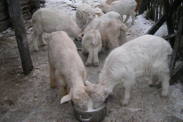 Козлята едят из кастрюли