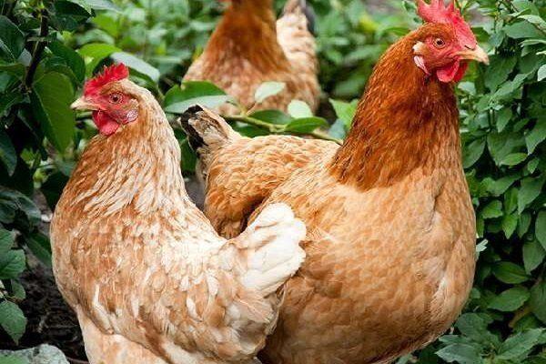 Курица и петух породы Изи Браун