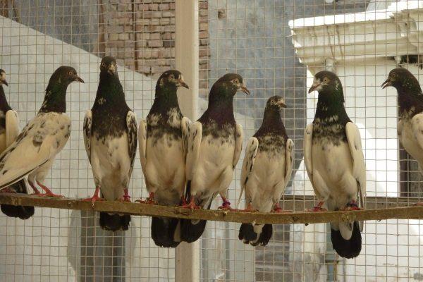 Пакистанские голуби в птичнике