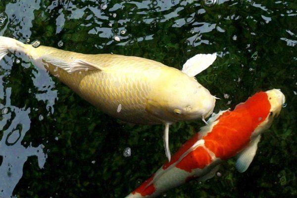 Прудовая рыба с ожирением и нет