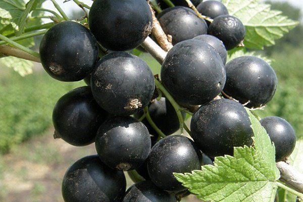 Сорт Черный жемчуг