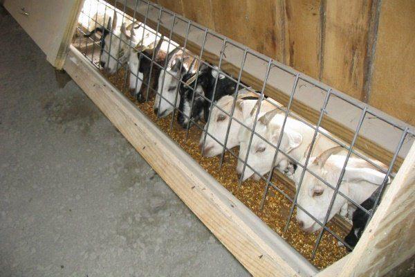 Козы едят Концентрированные корма