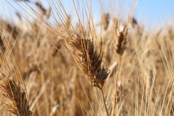 Твердый сорт пшеницы