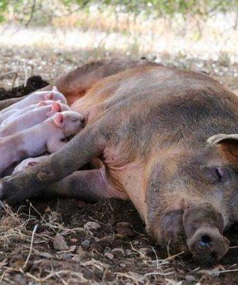 Свинья родила
