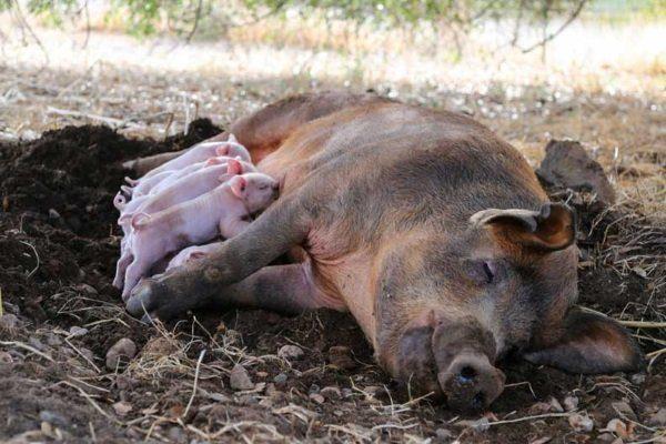 Через сколько после опороса можно случать свинью