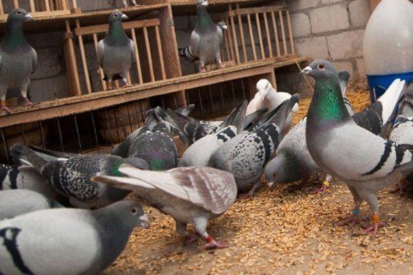 корм в голубятне