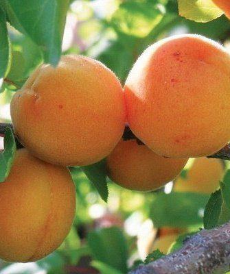 Сорт Персиковый