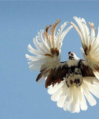 Полет серпатого голубя