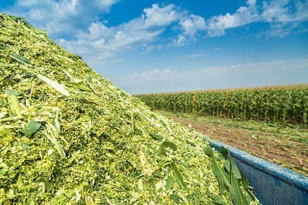 Кукуруза на силос