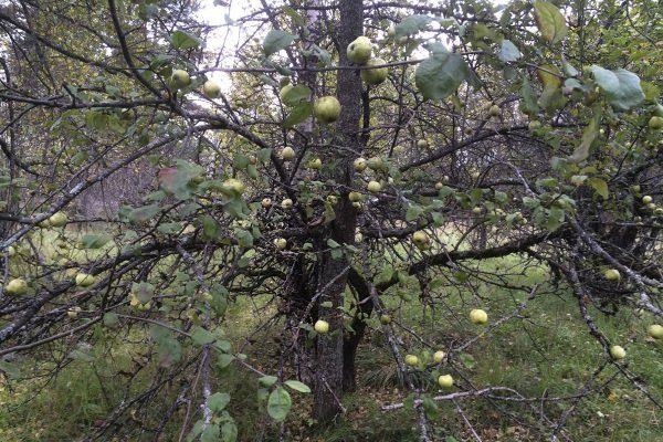 Яблоня засыхает
