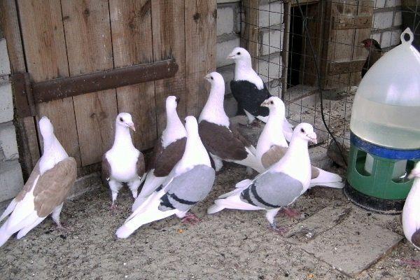 Уход за голубями