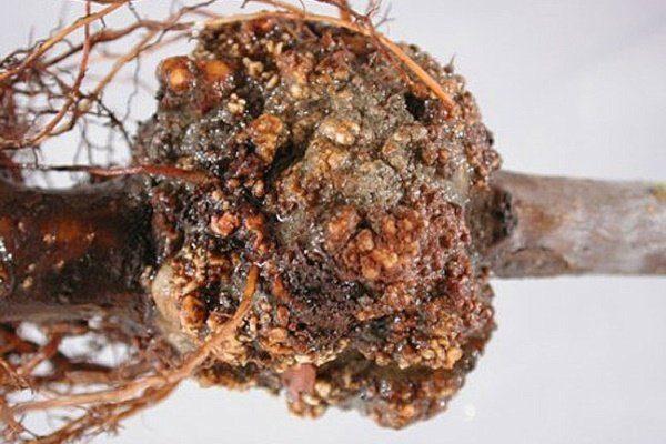 Бактериальный корневой рак