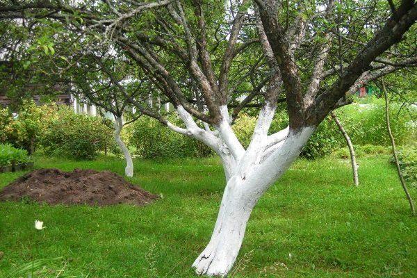 Побеленное дерево