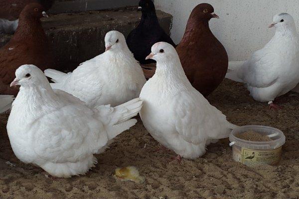 понос у голубей