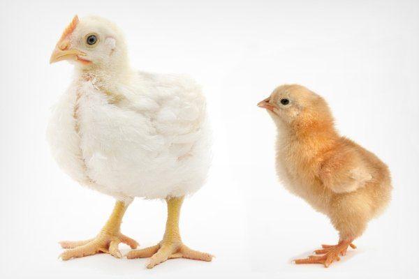 Бройлер и цыпленок