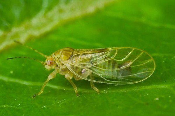 Листоблошка (грушевая медяница)