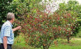 Карликовая вишни