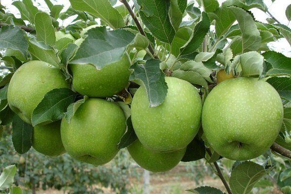 Лучшие сорта яблонь для черноземья