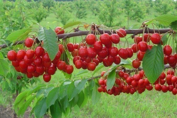 Описание сорта вишни Уральская Черешенка регионы для выращивания посадка и уход